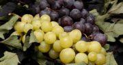 خواص و مضرات انگور ، 11 خاصیت انگور برای درمان بیماری ها و سلامتی بدن