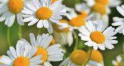 گل بابونه چه خاصیتی دارد؟