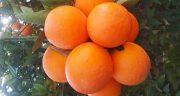 خواص و مضرات پرتقال برای پوست ، سرطان ، بارداری و کودکان
