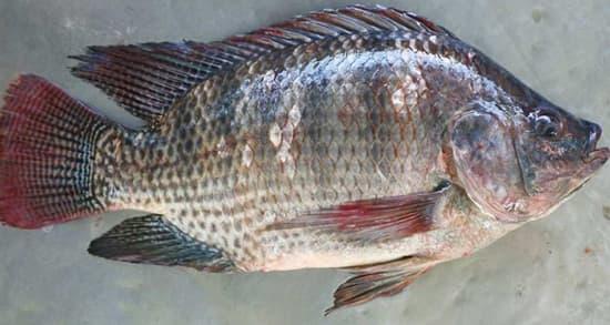 خواص ماهی تیلاپیا , عوارض و مضرات ماهی تیلاپیا , o hw lhid jdgh  dgh